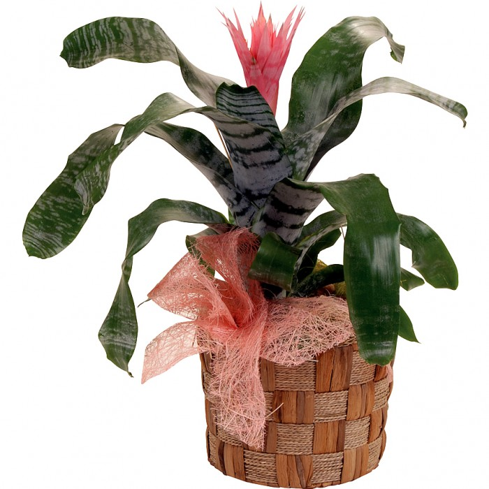225 & Potted Bromeliad plant in a basket.
